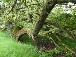 Kirschenbaum im Wald bei Loch an Eilean