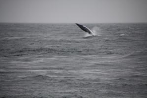 Orka Wal